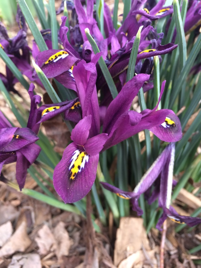 Early spring Iris