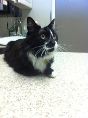 Tuxedo cat at the vet